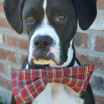 How to Make Your Dog a Bowtie + Tips for Holiday Photos