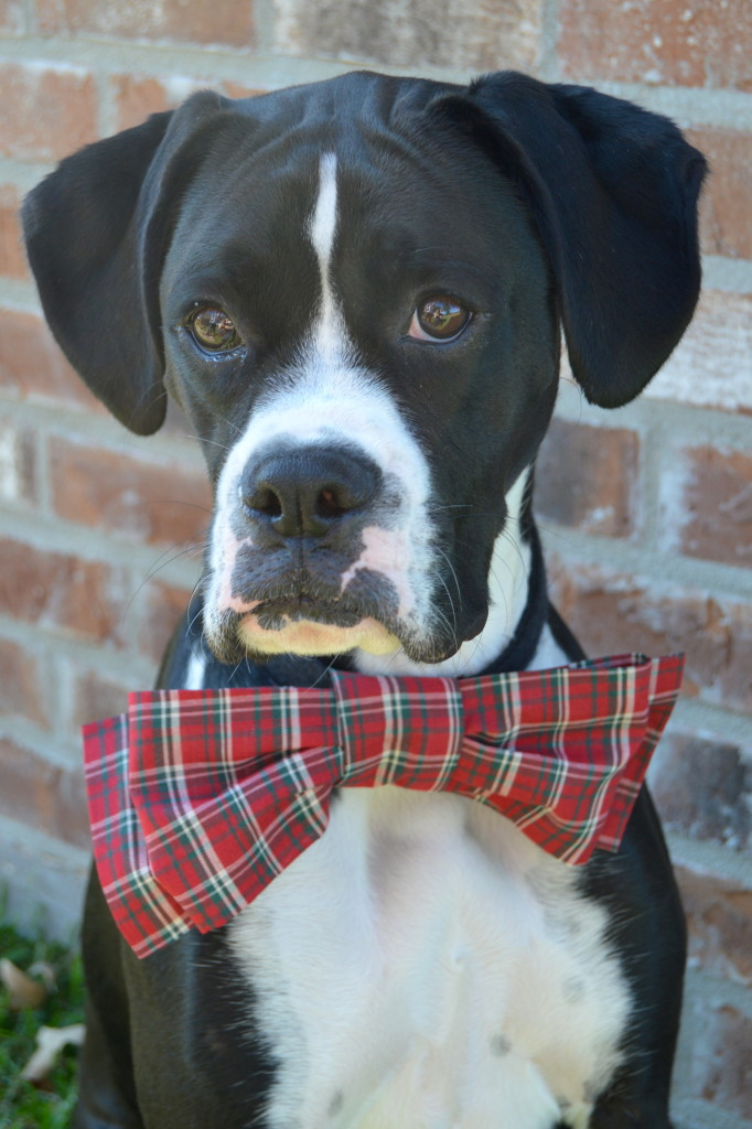 How to Make Bowtie for Your Dog + Tips for Holiday Photos #PAWsomeGifts #ClausAndPaws (ad) | mybigfathappylife.com
